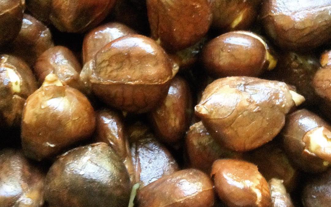 Breadnuts!!