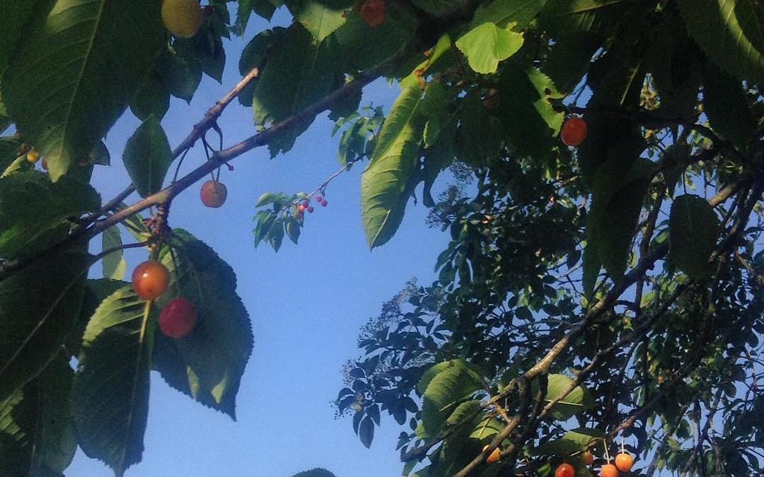 Foraging Wild Cherries!